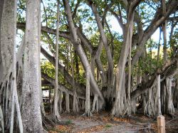 Banyan Tree © with CCLicense