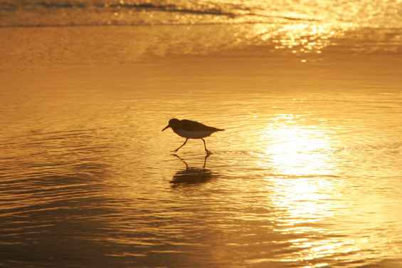 shorebird-in-sunrise-walking-on-coast