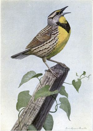 Eastern Meadowlark (Sturnella magna), from The Burgess Bird Book for Children by Louis Agassiz Fuertes