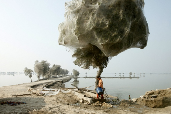 Trees cocooned by spider webs after flooding in Sindh, Pakistan, 2010 © DFID, The UK Department for International Development with CCLicense