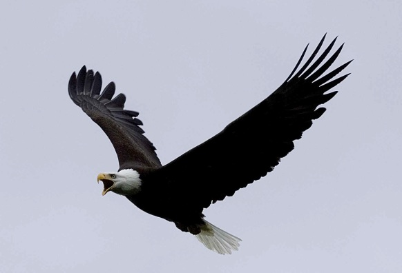 bald-eagle-in-flight-raptor-bird