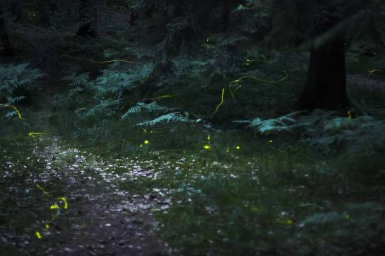 Fireflies in the Woods near Nuremberg, Germany © Quit007 with CCLicense