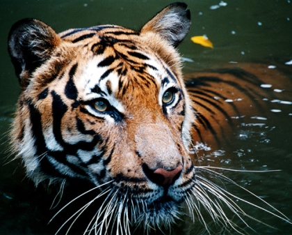 Tiger in the water © B_cool with CCLicense