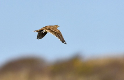 Lark Ascending © Tom Lee with CCLicense
