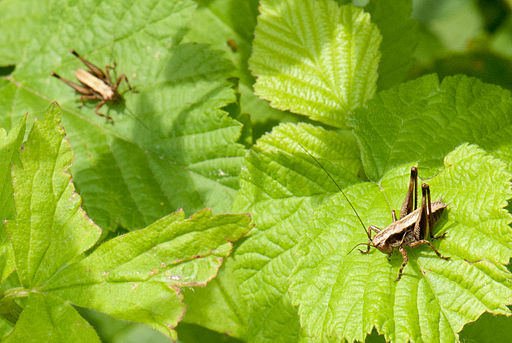 Two_grasshoppers_(6259471275).jpg