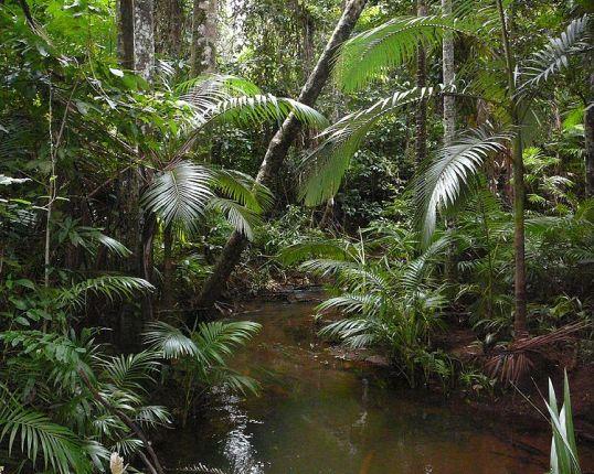 750px-Archontopheonix-alexandrae-littoral-rainforest