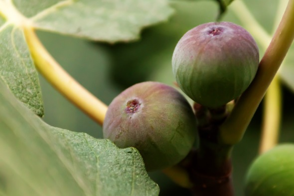 growing-figs.jpg