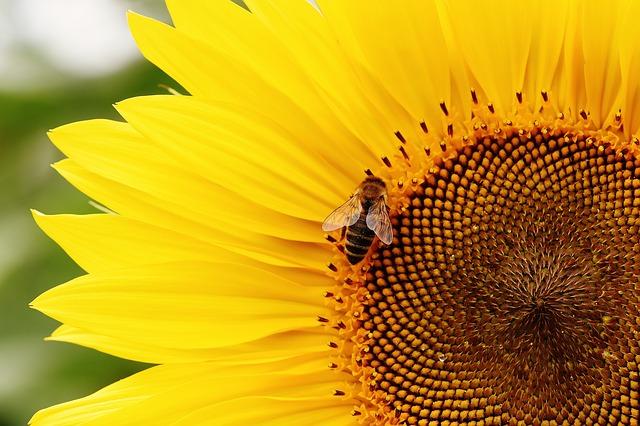 sun-flower-1643958_640