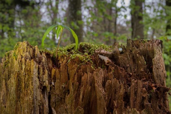 Rejuvenation Seedling Tree Seedling Maple Seedling