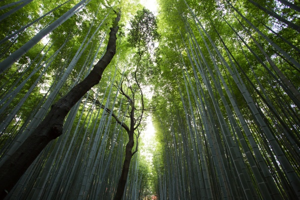 nature-forest-trees-bamboo.jpeg