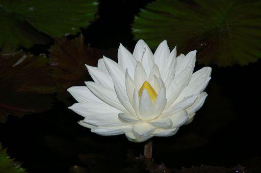 1024px-Nymphaea_lotus_(1)