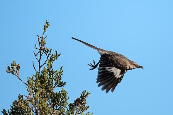 800px-Mockingbird_in_flight_west_meadow_(27820213361)