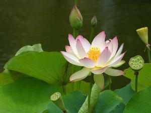 Lotus_Blüte