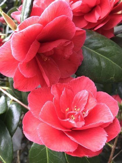 camellia-3338781_640