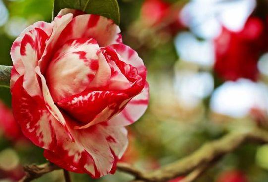 camellia-3327241_640