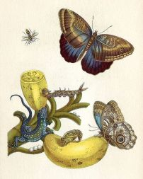 from Metamorphosis Insectorum Surinamensium by Maria Sibylla Merian